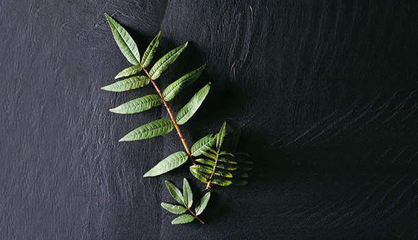 刺蔥│降低尿酸,有預防痛風的保健功效