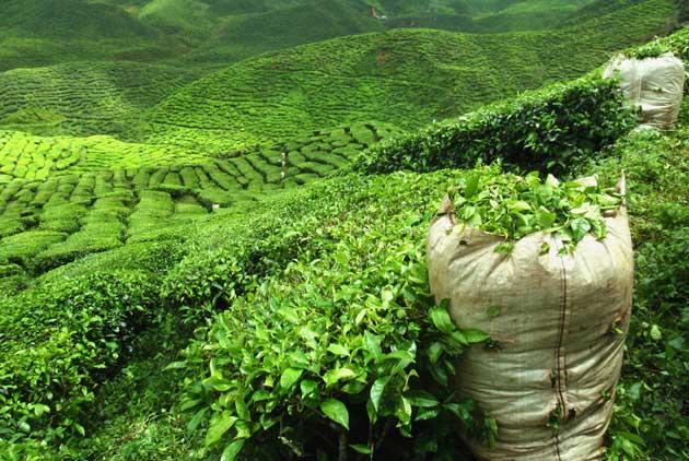 每年3萬噸進口茶 哪去了?