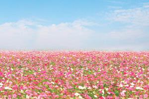 桃園大溪花海 移植北海道與南歐的美麗