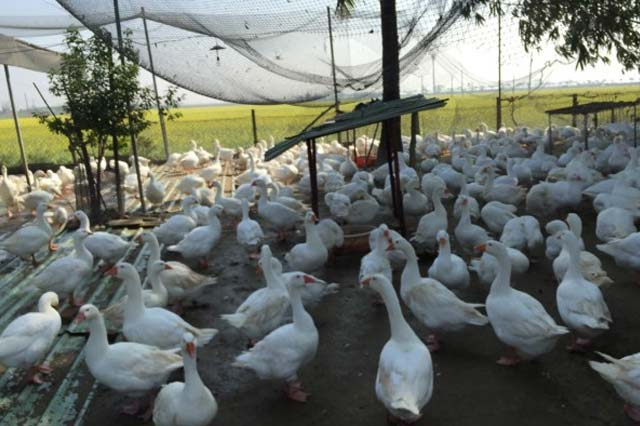 新型高病原禽流感四縣市淪陷 已證實為H5N8 台灣首次發現