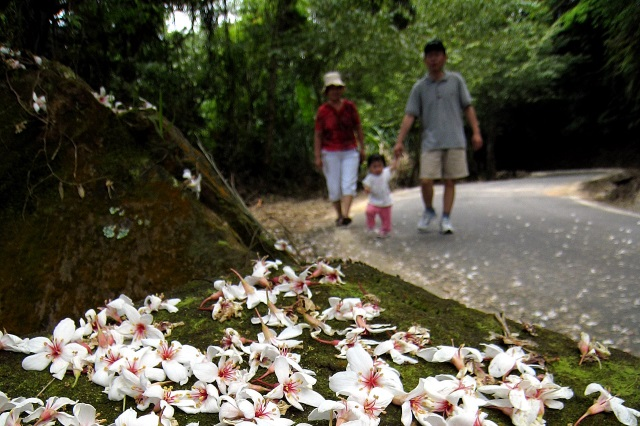 新竹峨眉‧六寮步道:桐花螢火相伴的驚豔