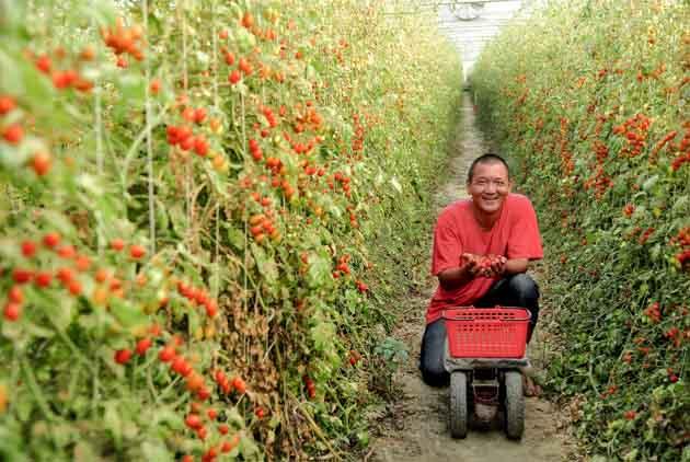 浪子回農 拼出玉女番茄新天地