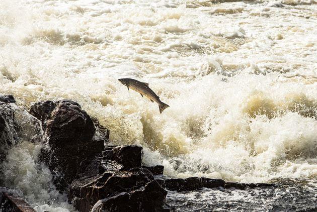 台灣養鮭魚不是夢:廢核帶來意外的「禮物」