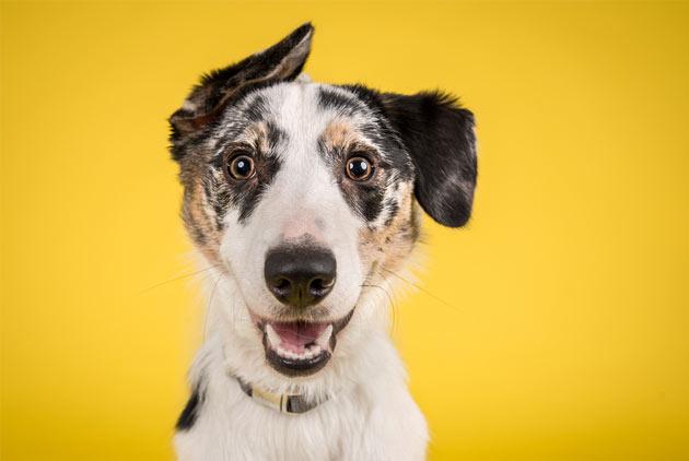 為什麼有些狗的耳朵是下垂的?