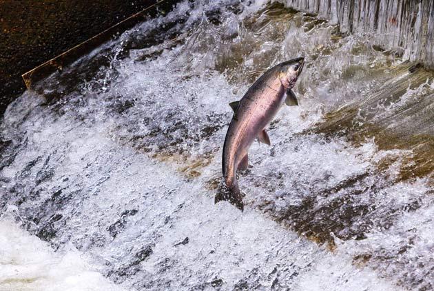 美國基改鮭上市了 台灣也有條領先全世界的基改魚